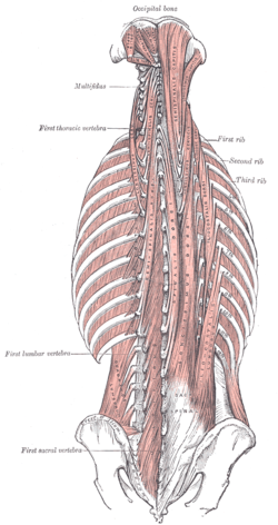 The erector spinae group run like strong cables the length of your spine.