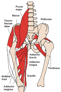 Pectineus and anterior muscles of the hip