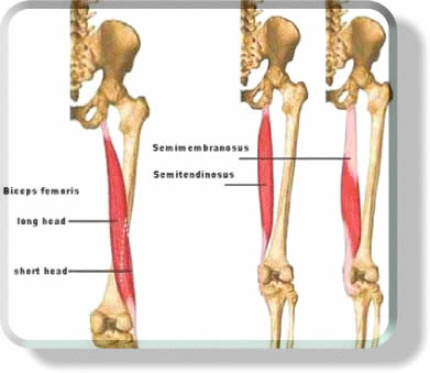 Anatomy of the hamstring