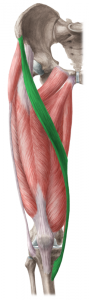 The sartorius is the longest muscle in the body, connecting from the front of the pelvis to the inside of the knee.