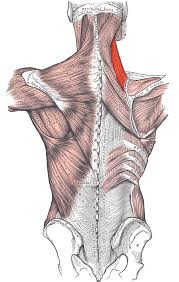 "The levator scapula, aka the ""please massage me here"" muscle."