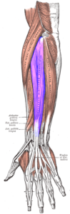 The extensor digitorum is one of four extensors of the wrist and hand.