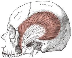 The temporalis is one of the major muscles of mastication, as well as a potential source of headaches.