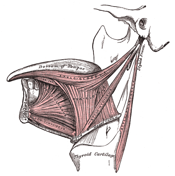 The muscles of the tongue share a fascial connection with