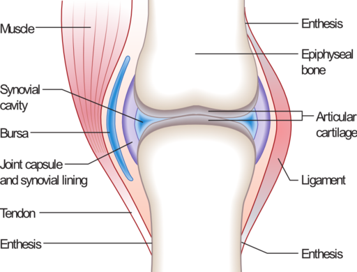 An illustration of the common synovial joint.