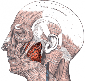 The masseter and temporalis are responsible for closing the jaw.