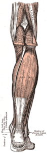The soleus is a muscle on the back of the lower leg that assists in ankle plantarflexion.