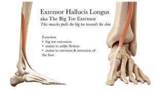 Big Toe Extensor