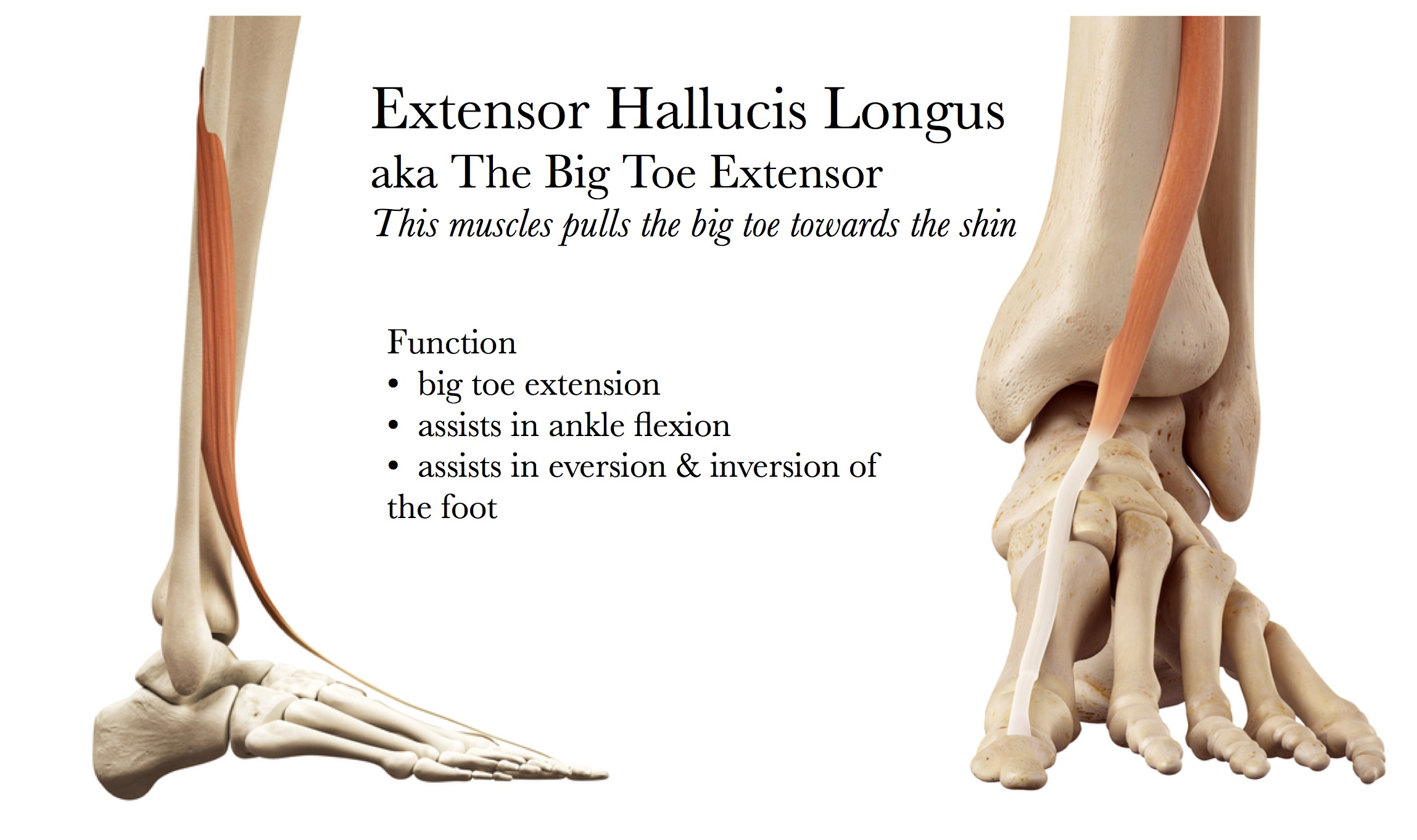 Ehl Big Toe Extension Ankle Dorsiflexion Muscles
