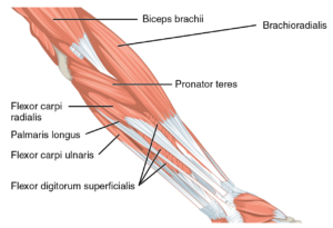 Muscles that move the forearm