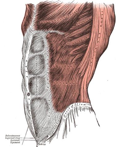 Core abdominal musculature image