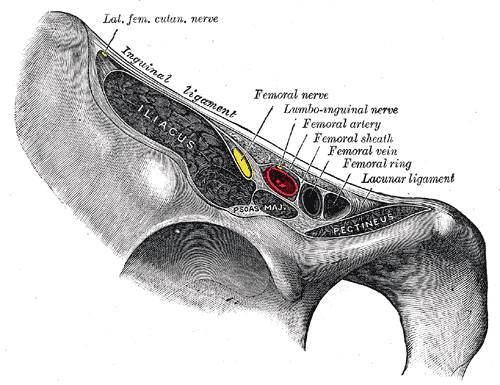 Iliacus, pectineus, and the inguinal ligament