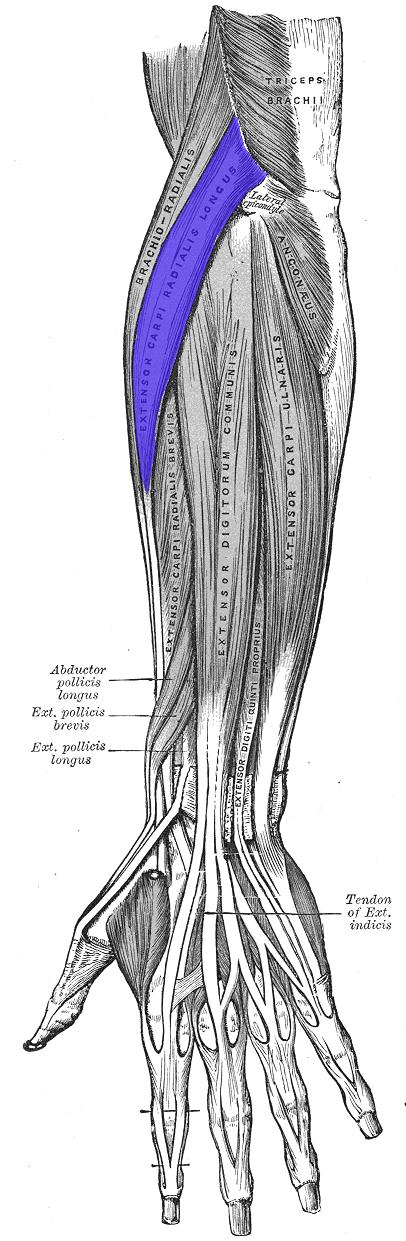 Extensor Carpi Radialis Longus Muscle Anatomy