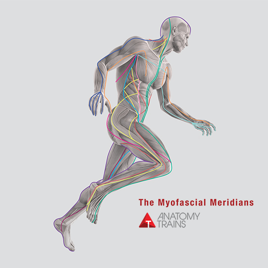 Human figure in motion, colored lines depict fascial seams of body