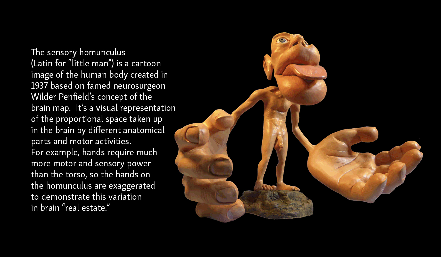 Sensory Homunculus with description of exaggerated sensory sensations in hands, lips, and tongue